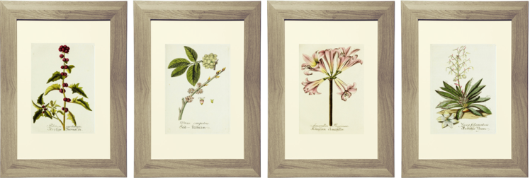 Lavender Botanical Art Featured Image