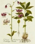 Lavender Botanical_21