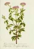 Lavender Botanical_6