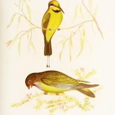 Birds of Australia_2