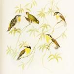 Birds of Australia_4
