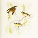 Birds of Australia_7